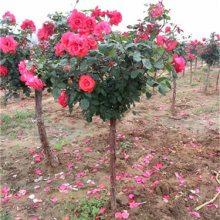 4公分月季树价格-月季树-天润月季