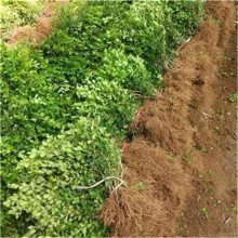 瓜子黄杨产地 高30公分40公分瓜子黄杨价格便宜 欢迎订购