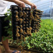 北京蜜脆樱桃苗优惠价多少蜜脆樱桃苗保结果
