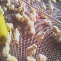 塑料养鸭网 小孔养鸭网 养鸭网厂家