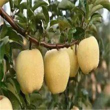 山东维纳斯黄金苹果苗 苹果苗价格 一年维纳斯黄金苹果苗 红富士苹果苗价格