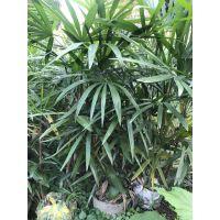 成都种植棕竹基地批发基地,1米高的价格是多少呢?