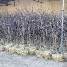 山东枣树苗产地价格   枣树苗厂家批发