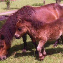 小矮马能在家里养么多少钱一匹