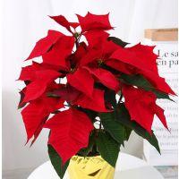 供应圣诞花真花盆栽植物 又称一品红圣诞红适合圣诞节日新年迎新