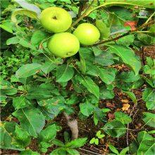 维纳斯苹果苗、矮化苹果苗、高产没病害规格全质量好