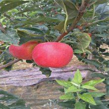 挂果多密植栽培产量高 3-5公分苹果树 富士苹果苗上车价格 黄金苹果苗