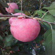 2公分苹果苗 红富士苹果苗品种纯正 低价出售苹果苗价格