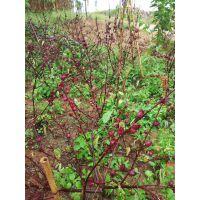 云南金沙江干热河谷玫瑰茄产地散装大货玫瑰茄