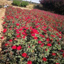 陕西月季苗批发 大红花月季 营养杯月季苗圃直销