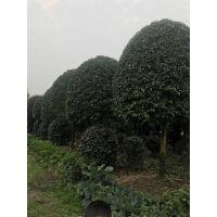 成都大量出售高杆桂花,规格齐全,长期发往贵州云南陕西重庆等地