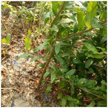 供应突尼斯软籽石榴树苗 突尼斯软籽石榴树苗 价格 红如意软籽石榴苗