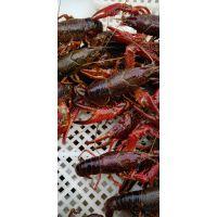小龙虾 龙虾苗 种虾