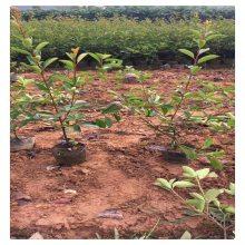 江苏红叶石楠产地供应 润景红叶石楠小苗批发 红叶石楠球 绿化工程苗木