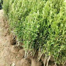 瓜子黄杨主产地在江苏沭阳 这里瓜子黄杨小树苗便宜而且你要的规格都有