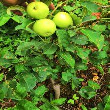鲁丽苹果苗品种纯正 基地直销苹果苗哪里有卖