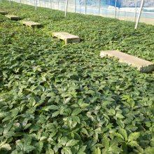 攀枝花西野三七亩产多少 竹节参供应求购 竹节参经济效益