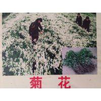 菊花苗的种植,菊花的价格,常喝菊花茶对人的身体有什么好处,