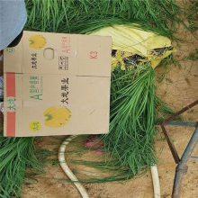 粉蒲苇花期是几月,粉蒲苇种植户,供应粉蒲苇