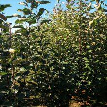 新品种苹果苗、鲁丽苹果苗、3年苗成活率高规格全质量好