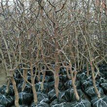 枣树苗供应商 枣树苗产地代办