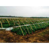 邯郸大名红薯苗基地 商薯19红薯苗批发采购