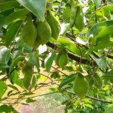 供应沉香种子 白银树种子 红椎种子 火力楠种子 南洋楹种子 荷木种子 印度紫檀种子