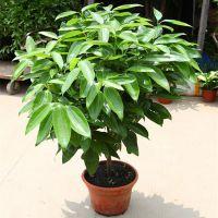 大型花卉植物绿植盆栽平安树四季常青绿色植物幸福树室内外观赏