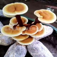 基地低价批发灵芝菌种 自产自销 灵芝盆景菌棒 菌包 免费技术指导