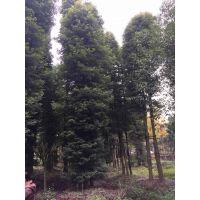 丛生朴树批发基地,3-5丛的价格是多少呢?成都基地销往贵州云南重庆等地