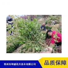 高速防护坡绿化工程苗木_邯郸剑麻袋苗种植