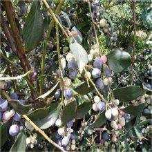 南高丛蓝莓苗多少钱一课 山东南高丛蓝莓苗多少钱一课
