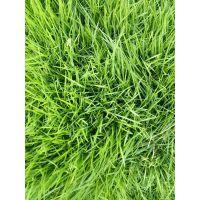 马尼拉草皮 赣州绿化工程常用草坪批发价格