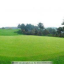哪里供应高尔夫加密假草坪 辽阳高尔夫加密假草坪报价 高尔夫加密假草坪