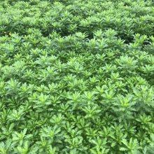 大量批发重庆木春菊工程苗 木春菊种植基地出售杯苗哦