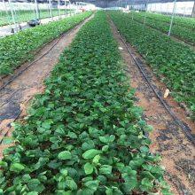 红河新品种百香果苗哪里有品种保障