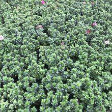 大量出售13杯西洋鹃工程苗 产地直销比利时杜鹃批发基地