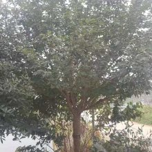 20公分樱花树形中等 工程货出售 贵州苗木基地专业种植与销售