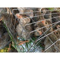 全国托运 珍珠鸡苗哪里买 小珍珠鸡苗批发市场在哪里 四川珍珠鸡苗