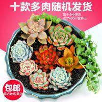 多肉植物种植新手套餐绿植花卉肉肉组合花卉盆栽