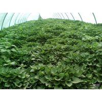 邯郸武安红薯苗种植基地 济薯26 育苗基地