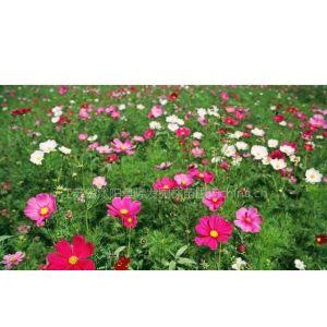 供应观花类工程用草花种子花卉地被种子