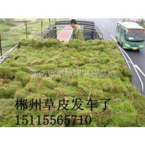 供应桂林马尼拉草《柳州草皮》基地