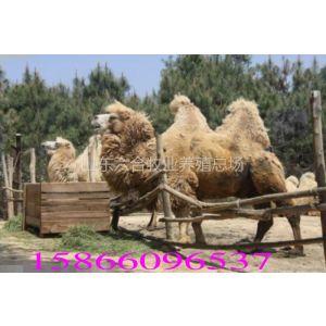 济宁双峰骆驼 公园拍照出租 骆驼租赁价格
