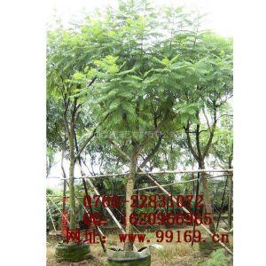 供应 蓝花楹 园林绿化工程苗木 品种规格 品种信息