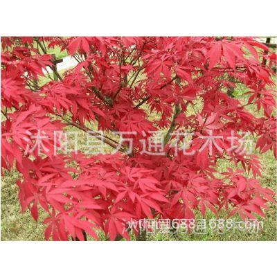 日本红枫小苗 红丝带苗 风景树苗 绿化工程苗 基地直销 现货现挖
