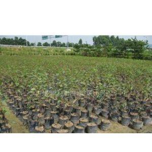 供应广东绿化苗—广东绿化树苗—广东优质绿化种苗
