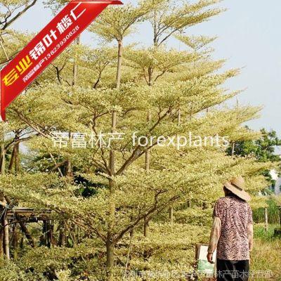 供应锦叶榄仁,斑叶榄仁广东前景的行道树优质工程袋苗 9-10分