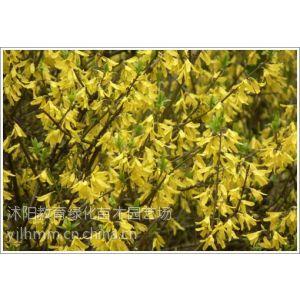 供应供应各种绿化苗木价格,红叶石楠球,扶芳藤等苗木,连翘价格
