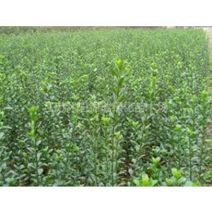 供应大叶黄杨苗哪里有 大叶黄杨苗价格哪里便宜